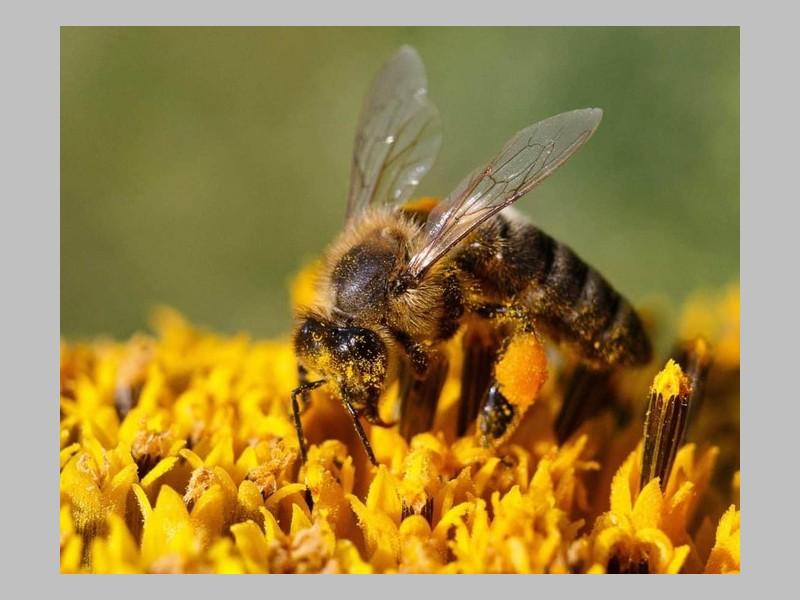 Faut-il nourrir les abeilles fatiguées avec du sucre ? Sans_116