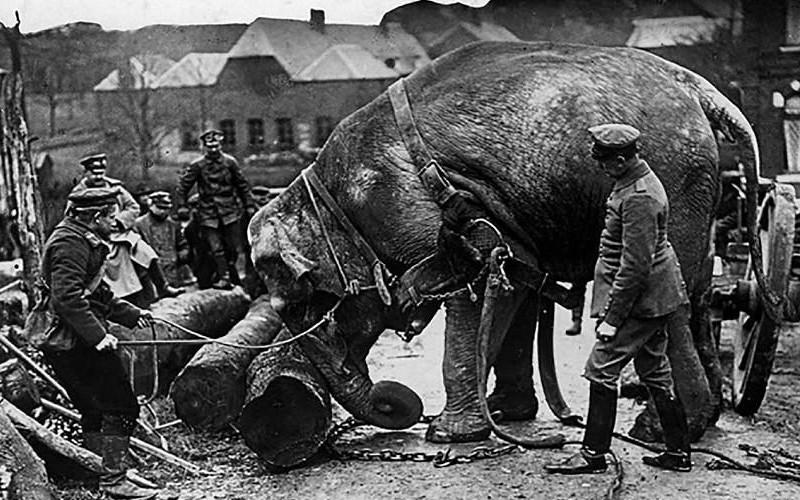 Ces animaux ont changé le cours de la guerre 14-18 Sans_788