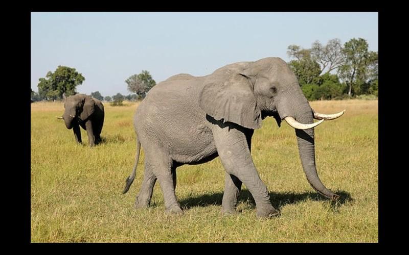 Des centaines d'éléphants meurent subitement en Afrique, et personne ne sait pourquoi V17