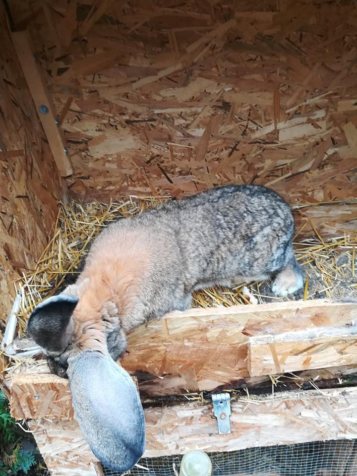 Les Rex de l'Ermite -- une histoire de lapin - Page 7 43756710