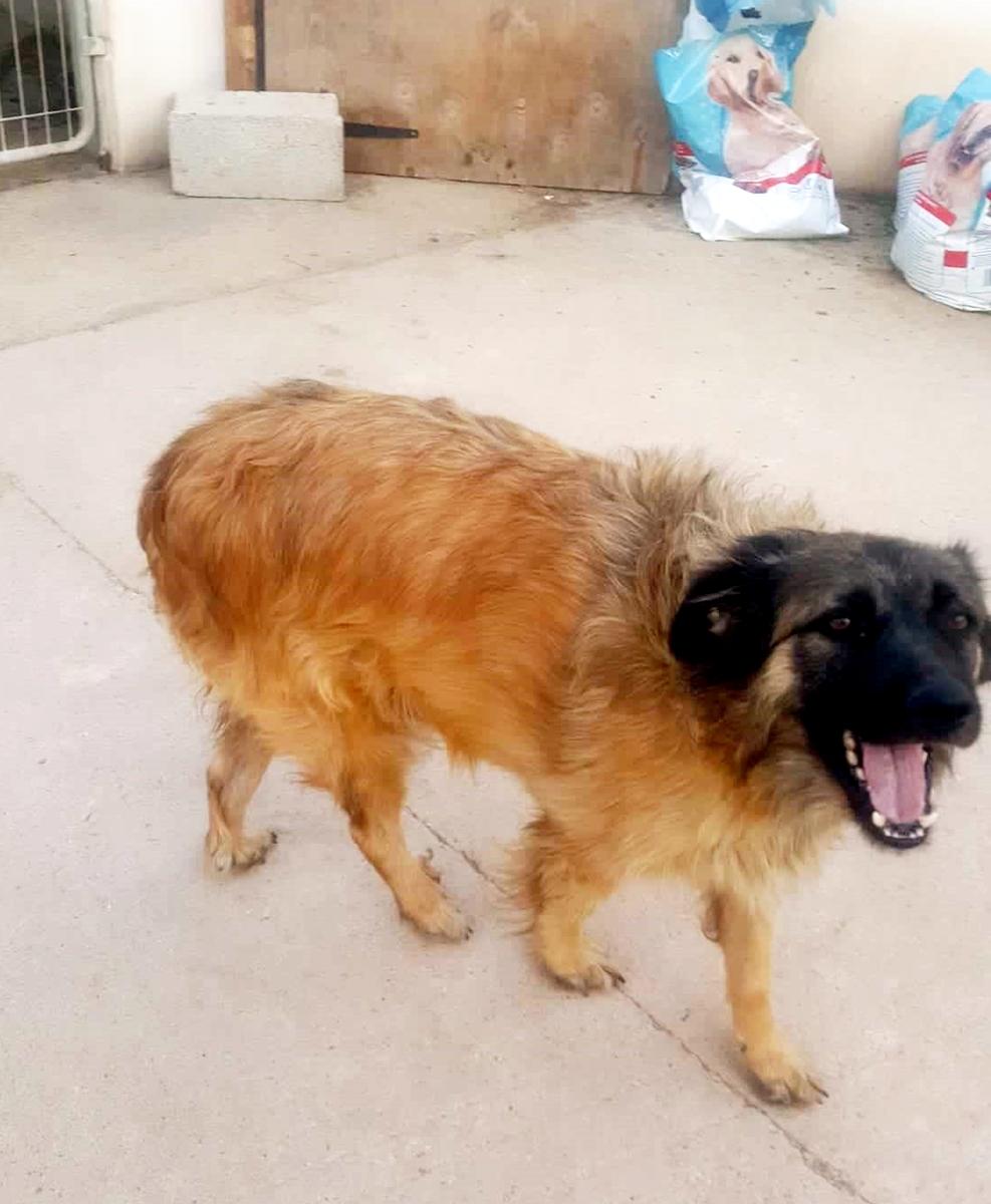 Bildertagebuch - SIRIUS, intelligenter hübscher Hundestern möchte so gerne endlich ein Zuhause - VERMITTELT - 71345910