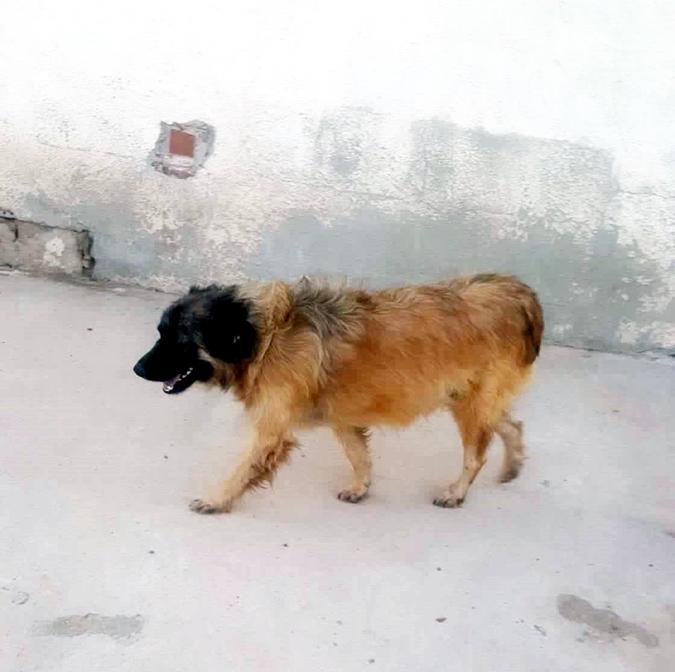 Bildertagebuch - SIRIUS, intelligenter hübscher Hundestern möchte so gerne endlich ein Zuhause - VERMITTELT - 71408710