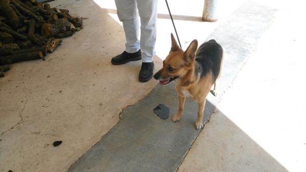 Bildertagebuch - Kity, die Miniaturausgabe eines Schäferhundes .... Kiti_210