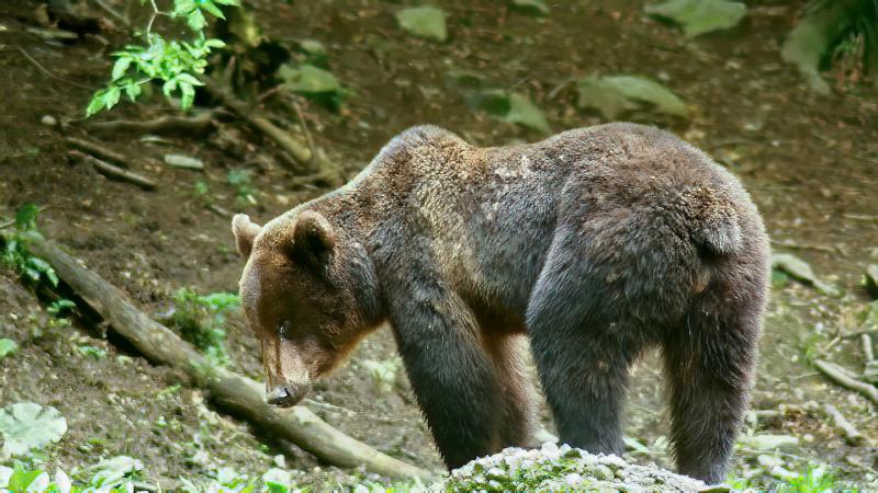Ours dans les Carpates roumaines... - Page 2 Ours_r12