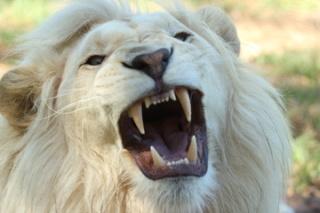 ♦ Apocalypse 9 : 8: La description des sauterelles Lion-p10