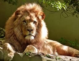 ♦ Apocalypse 4 : 7 : Les 4 attributs de Dieu Lion10