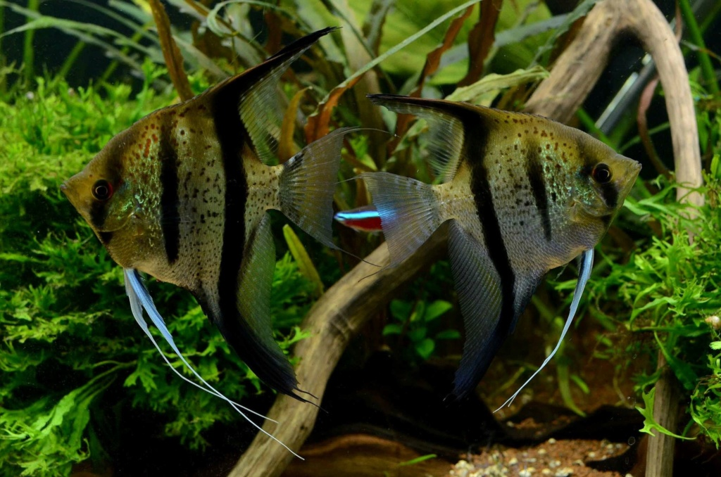 "Pterophyllum scalare ""Dragon rouge de Guyane"" - Page 4 68845610"