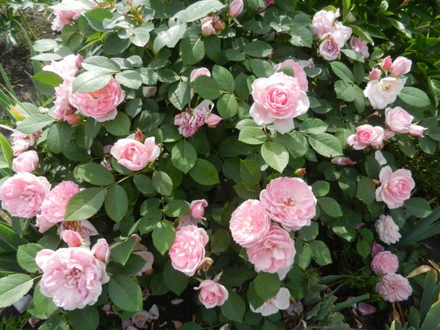 Канадские розы на весну 2020 года - Страница 18 Dscn7910