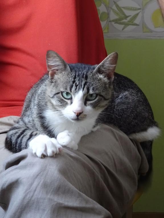 Ponko, mâle type européen tabby et blanc né 15 mai 2017 Dsc01413