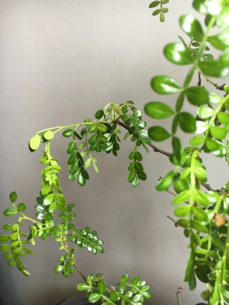 Zanthoxylum piperitum pierde hojas! Img_0810