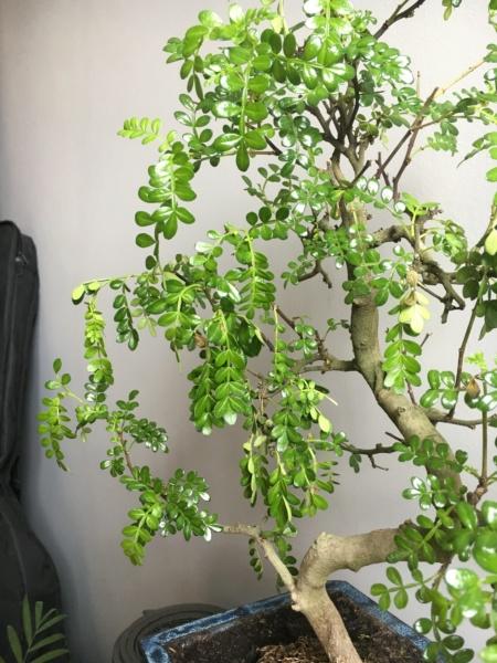 Zanthoxylum piperitum pierde hojas! Img_0811