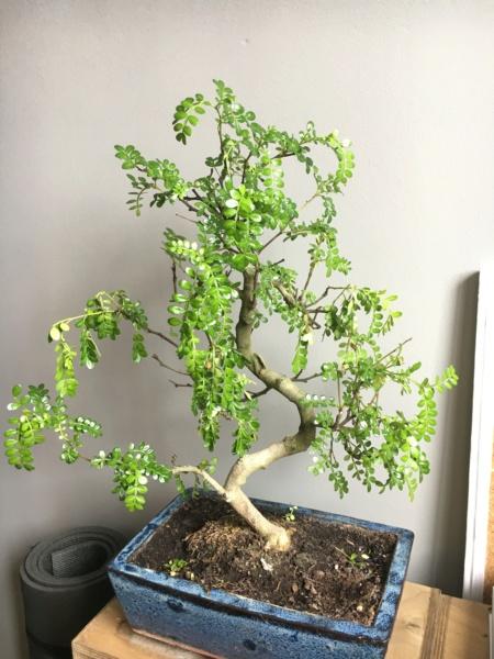 Zanthoxylum piperitum pierde hojas! Img_0812