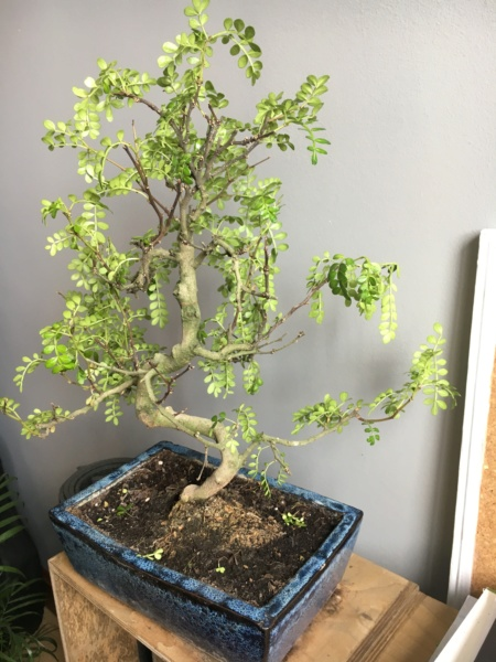 Zanthoxylum piperitum pierde hojas! Img_0813