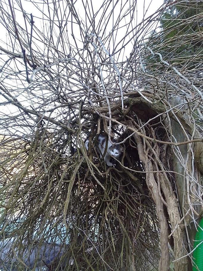 Oasis, femelle type européenne blanche et tigrée, née le 22 avril 2018 - Page 4 Img_2048