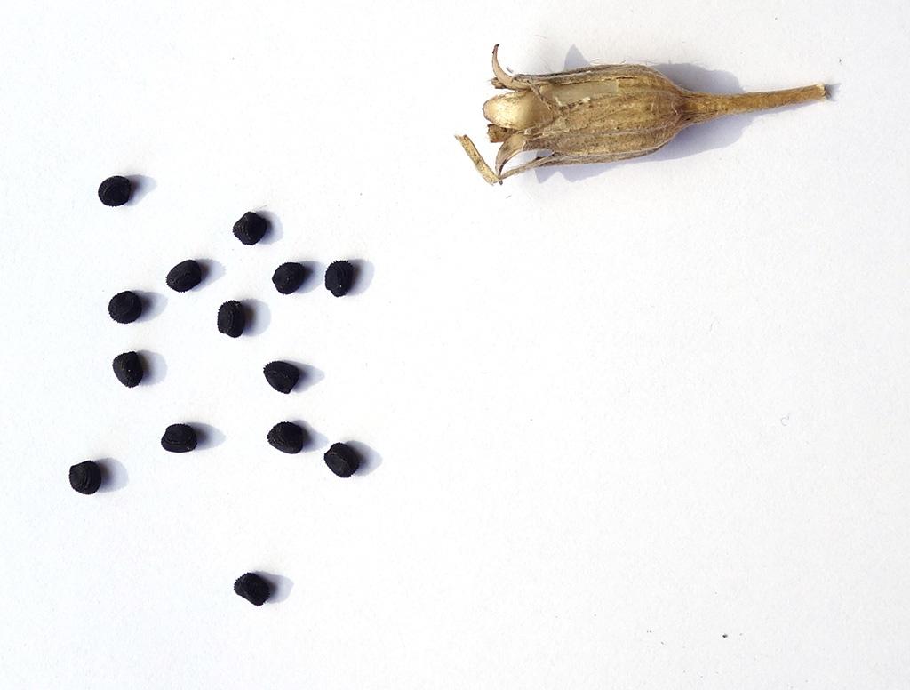 Récolte des semences, plante par plante - Page 5 Graine12