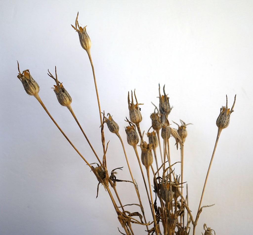 Récolte des semences, plante par plante - Page 5 Lychni11
