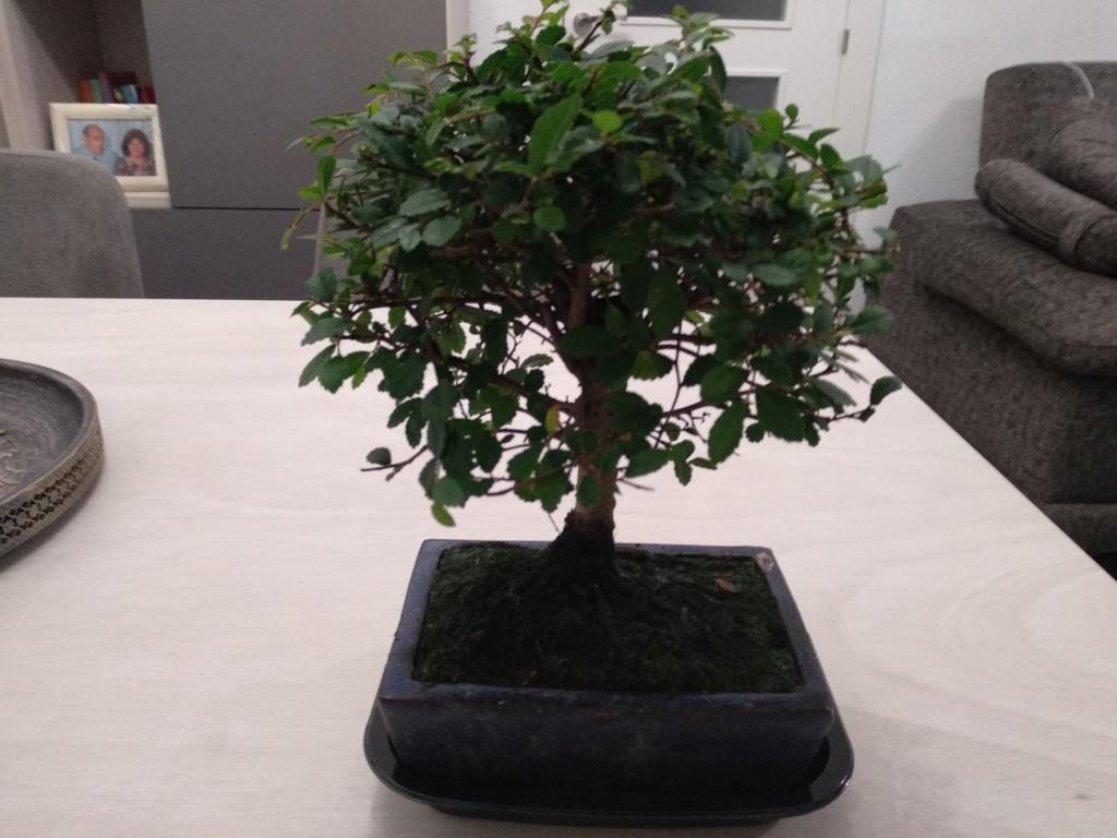 carnona microphylla (Ehretia microphylla ) Om_10110