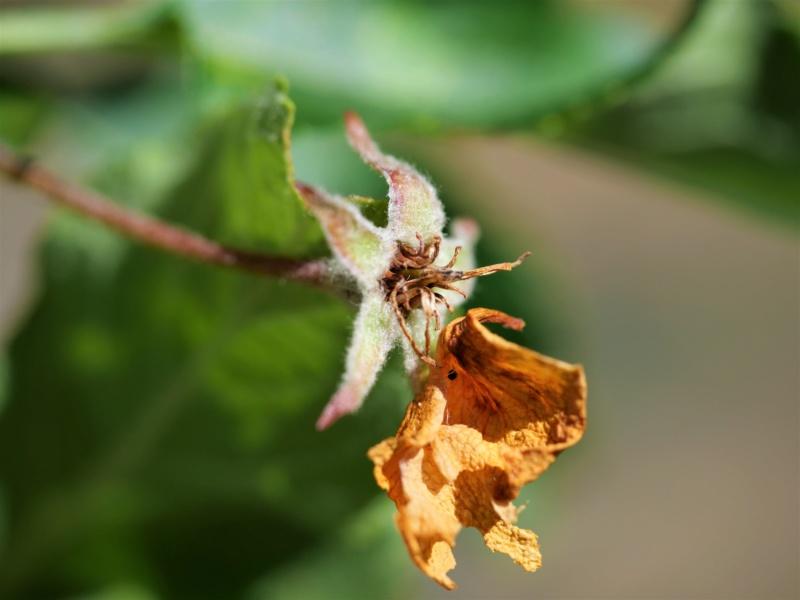 Fleur de pommier P9xg3110
