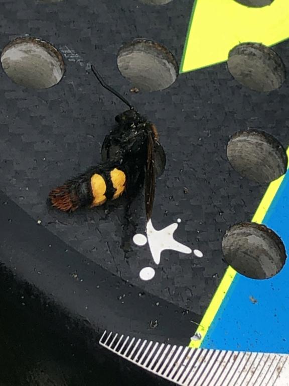 Pouvez-vous me dire quel est cet insecte ?  Img_3311