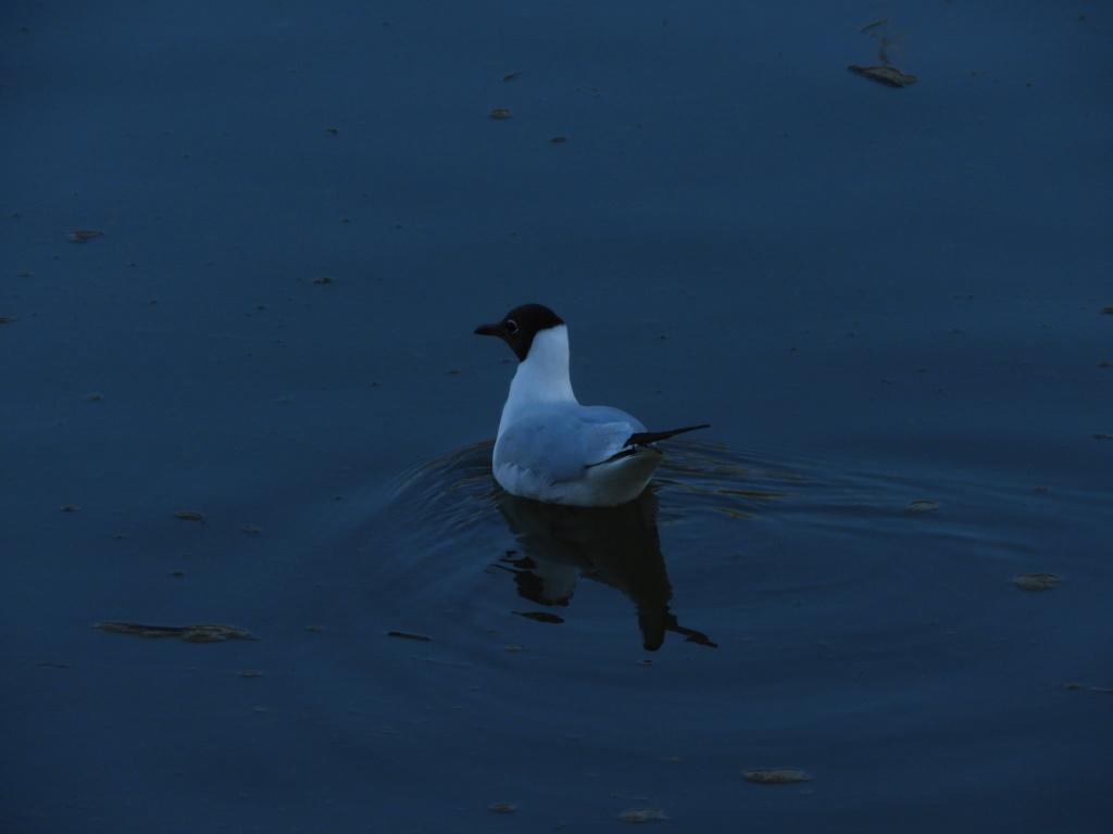 Identificação de ave passeriforme gavina Dscn2212