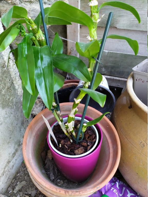orchidée dendrobium Img_2033