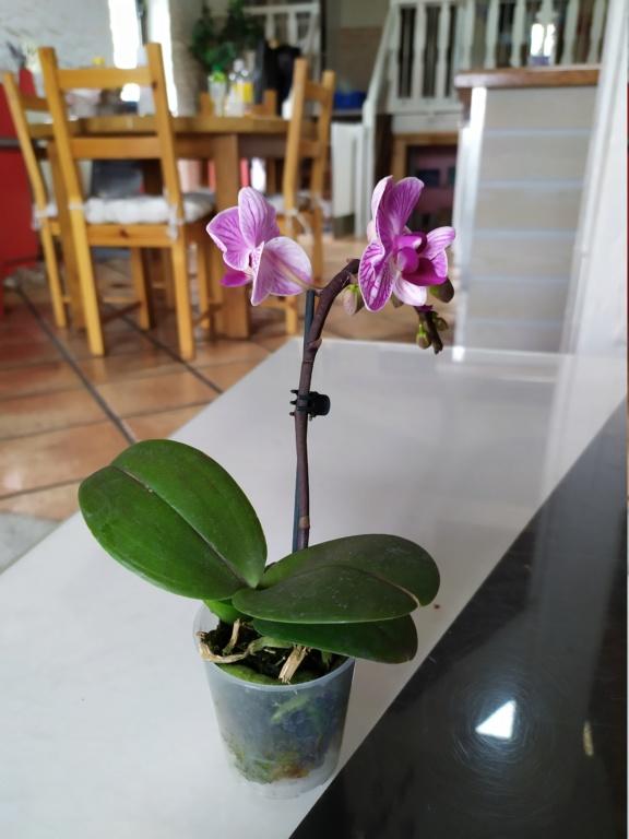 Mini phaleanopsis violet  Img_2055