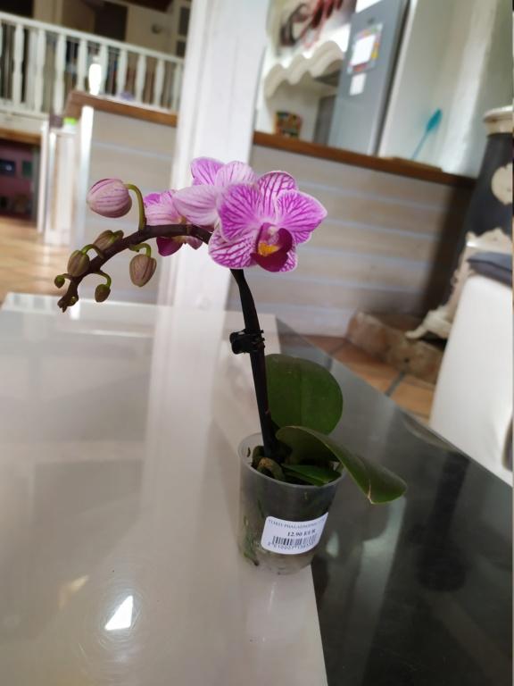 Mini phaleanopsis violet  Img_2056