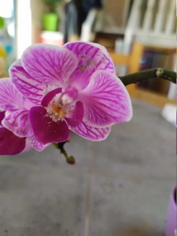 Mini phaleanopsis violet  Img_2061