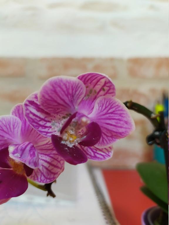 Mini phaleanopsis violet  Img_2065