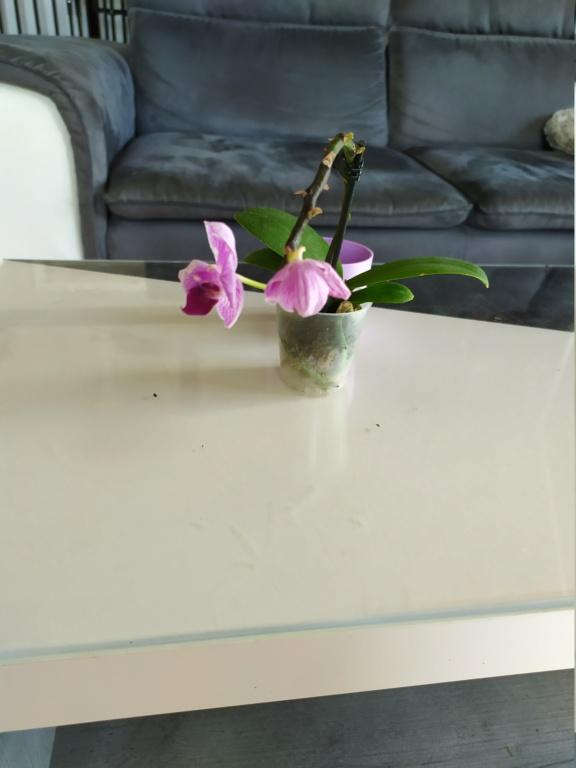 Mini phaleanopsis violet  Img_2066