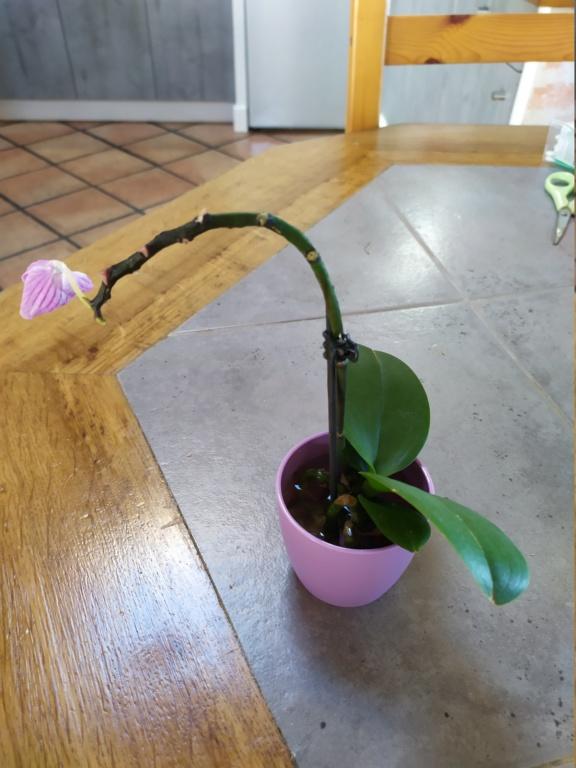 Mini phaleanopsis violet  Img_2072