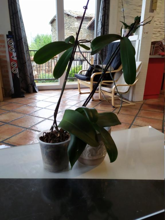 Orchidée en mauvais état  Img_2086