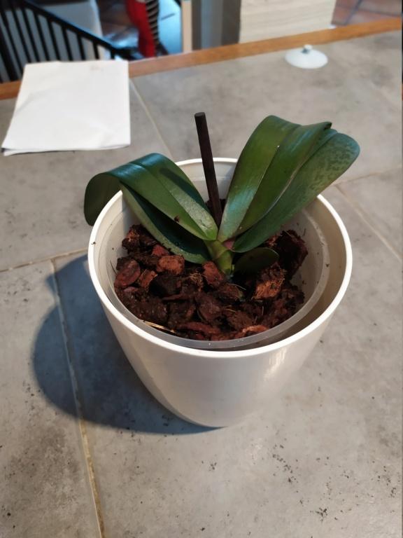 Orchidée en mauvais état  Img_2088