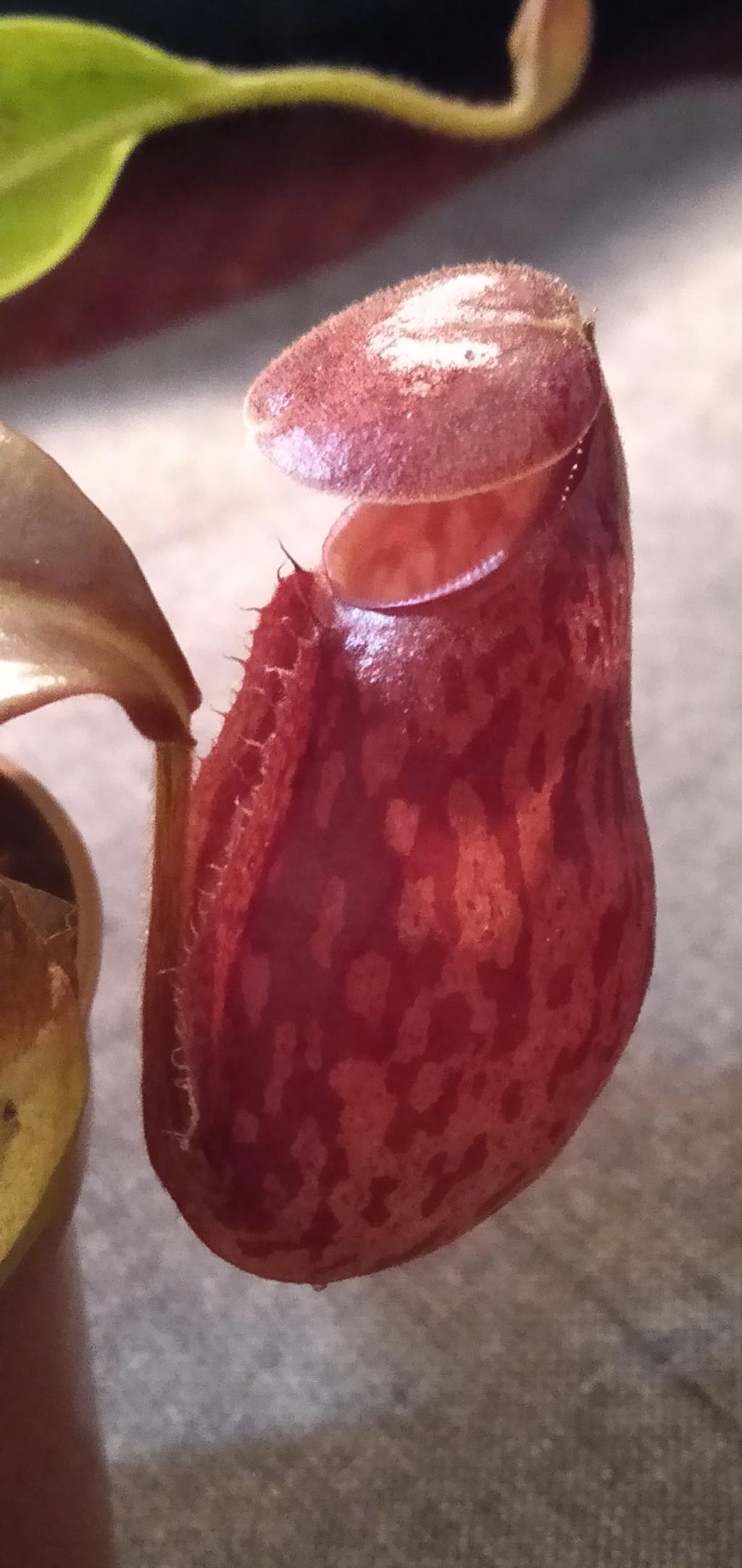 Nepenthes 'Gaya'? Img20210