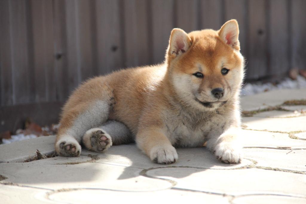 Рыжая девочка щенок от пары FAITER KAY KENNIT и VANESSA AKARUI HOSHI A67dc610