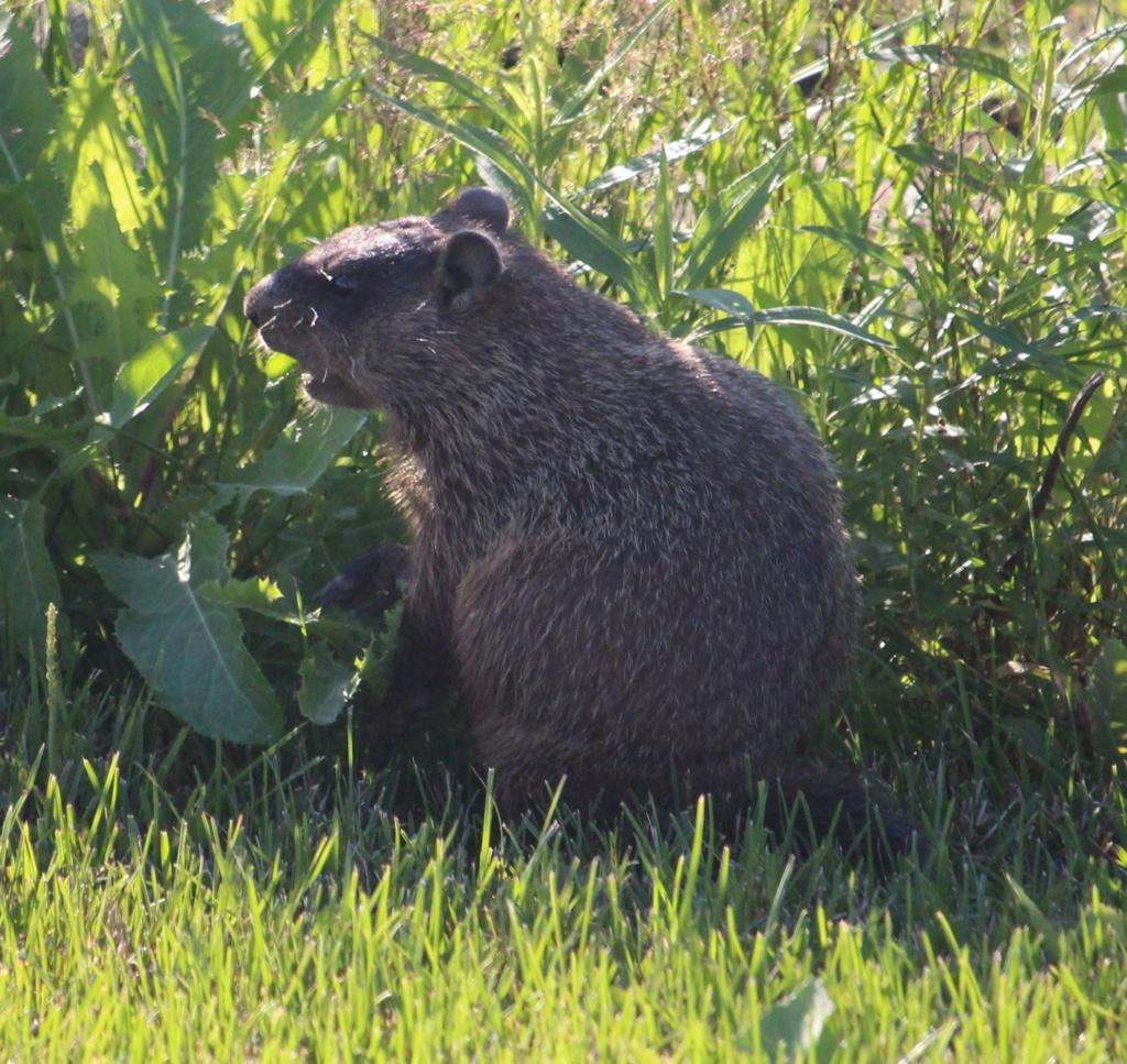 Une indésirée dans notre jardin... Marmot10