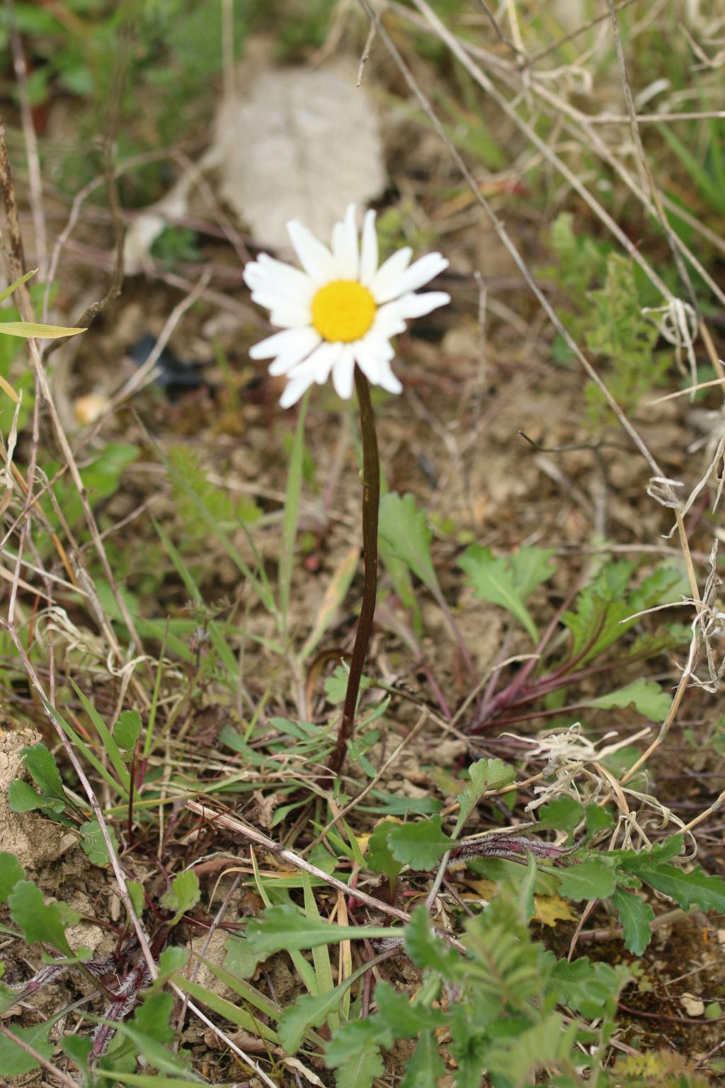 Étrange Leucanthemum ? 17042010