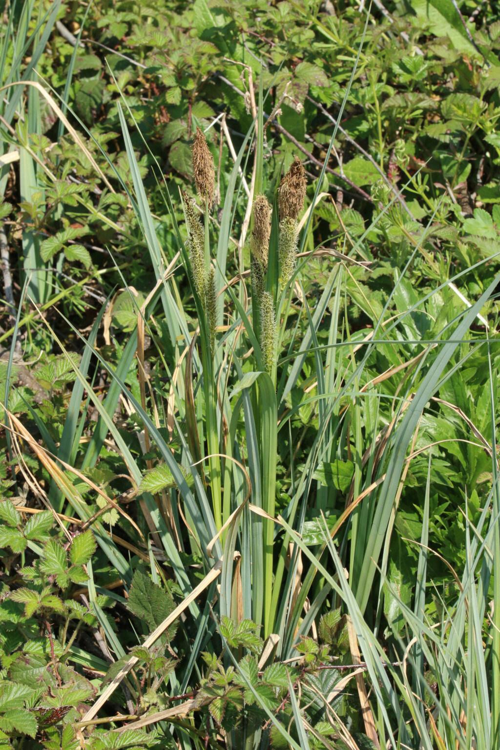 Carex acutiformis ou Carex riparia ? 24042017