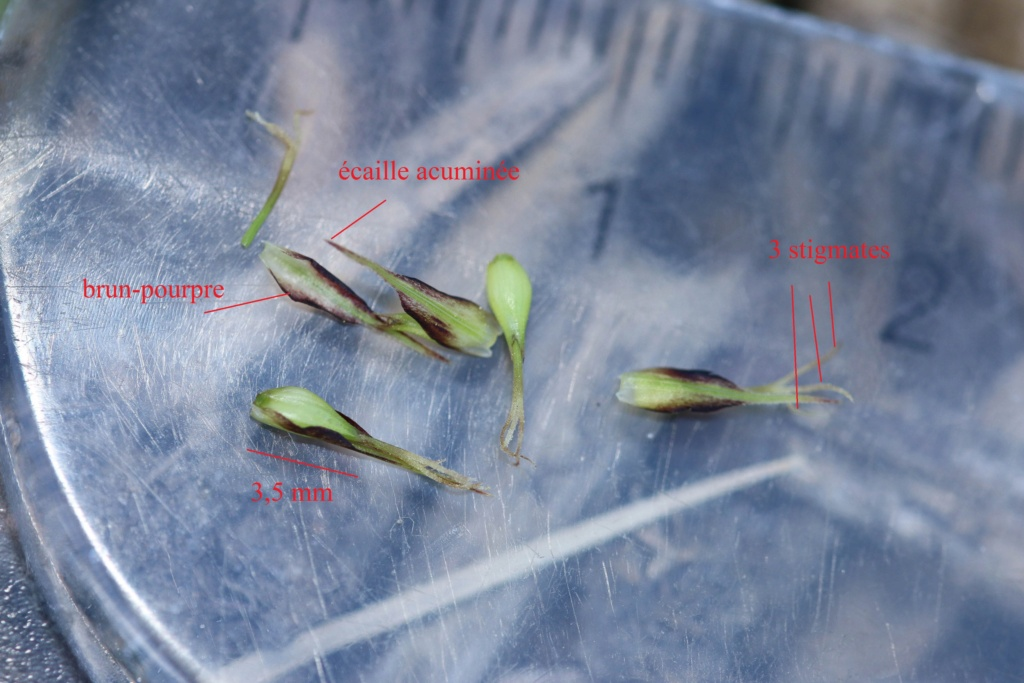 Carex acutiformis ou Carex riparia ? 24042018