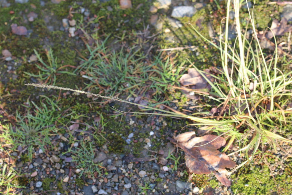 [Sporobulus indicus] Sporobulus indicus ? 310