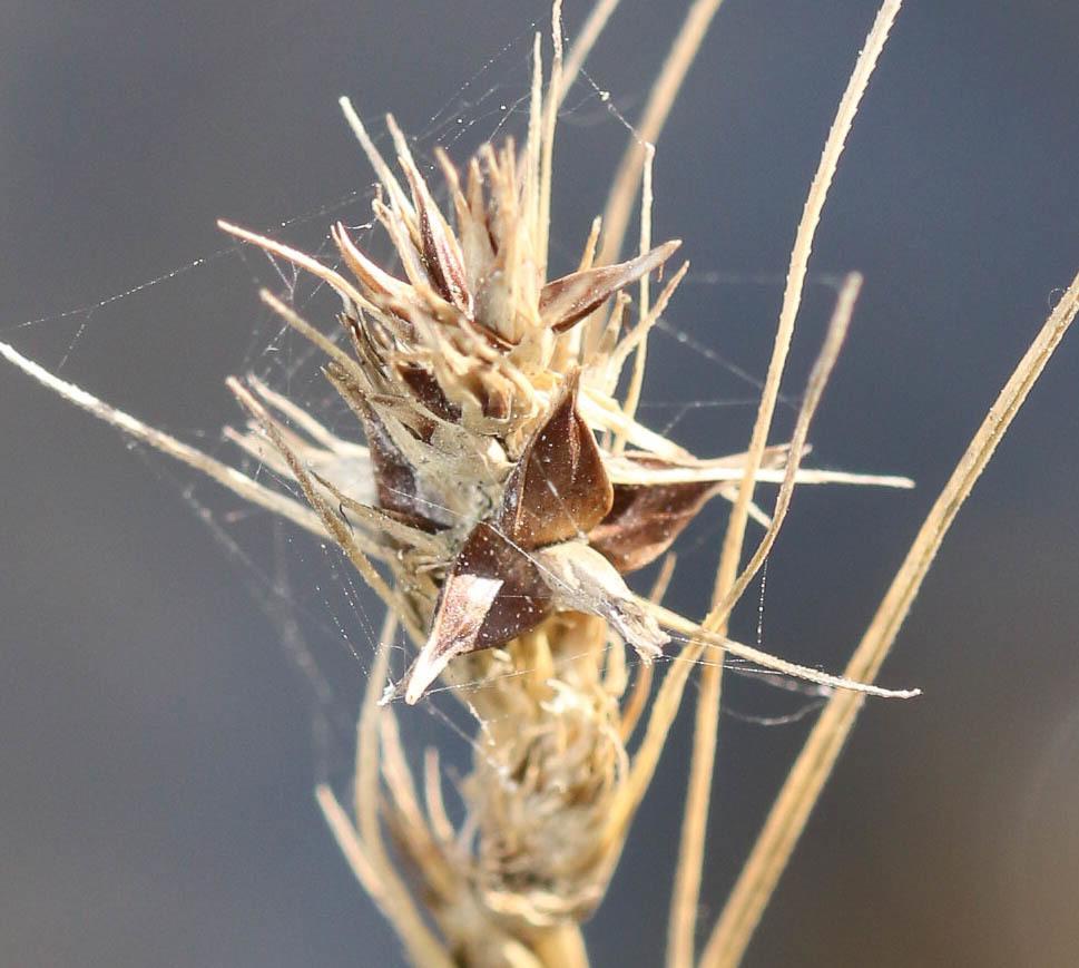 Carex cuprina ? Carex210