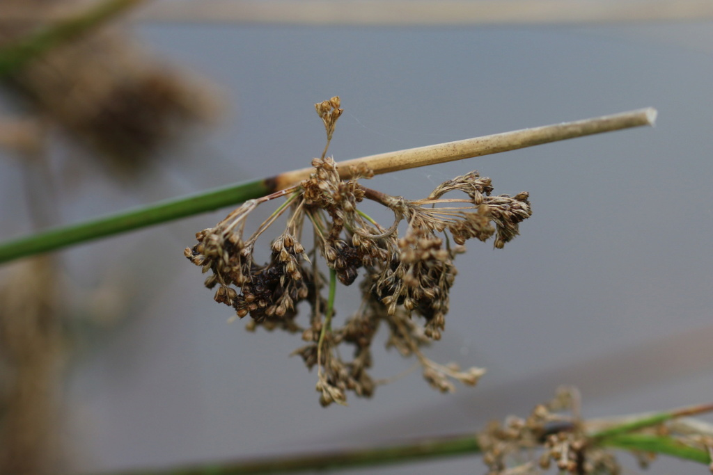 Juncus effusus ? Effusu10
