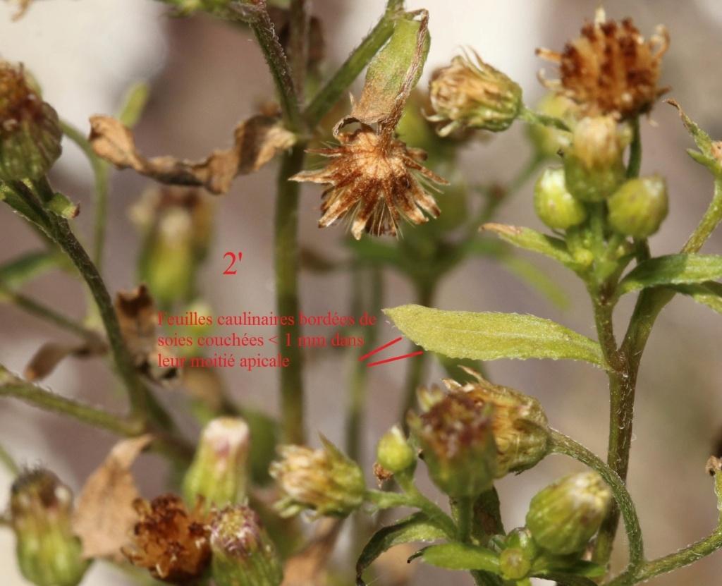 Erigeron floribundus ? (= Conyza floribunda) Eriger10