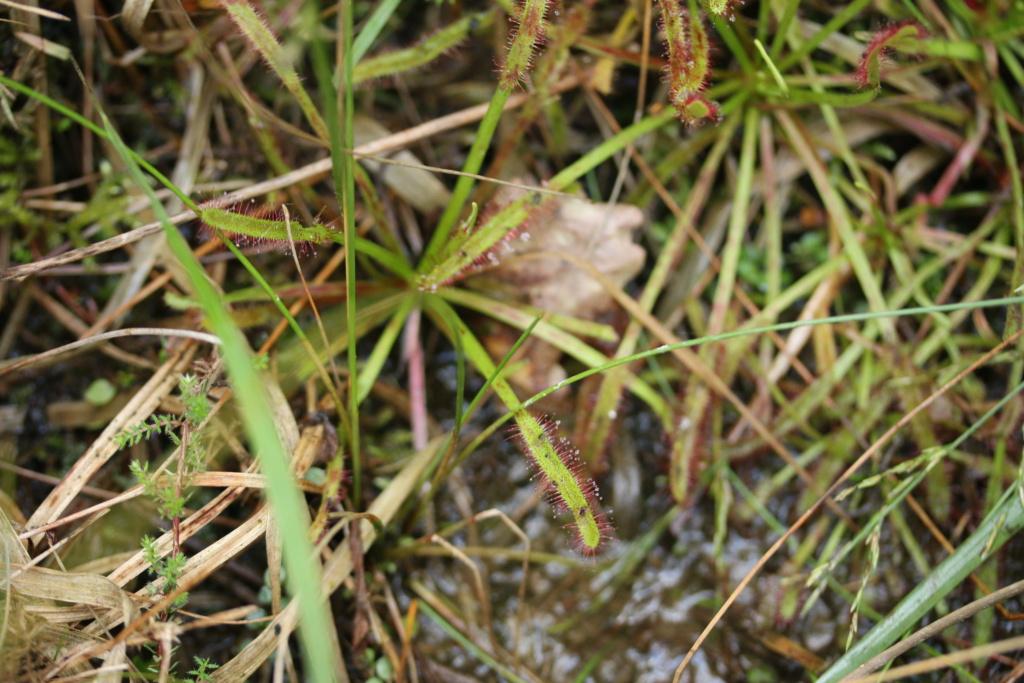[Drosera capensis] Drosera ? Img_2011