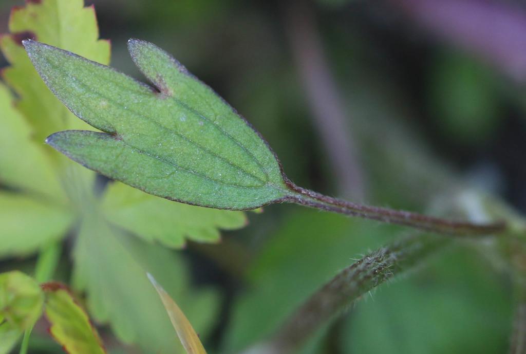 [Ranunculus arvensis] Ranunculus ? Large410