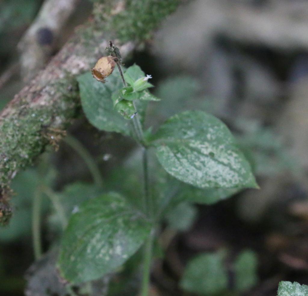 [Silene latifolia] Silene baccifera ? Origin23