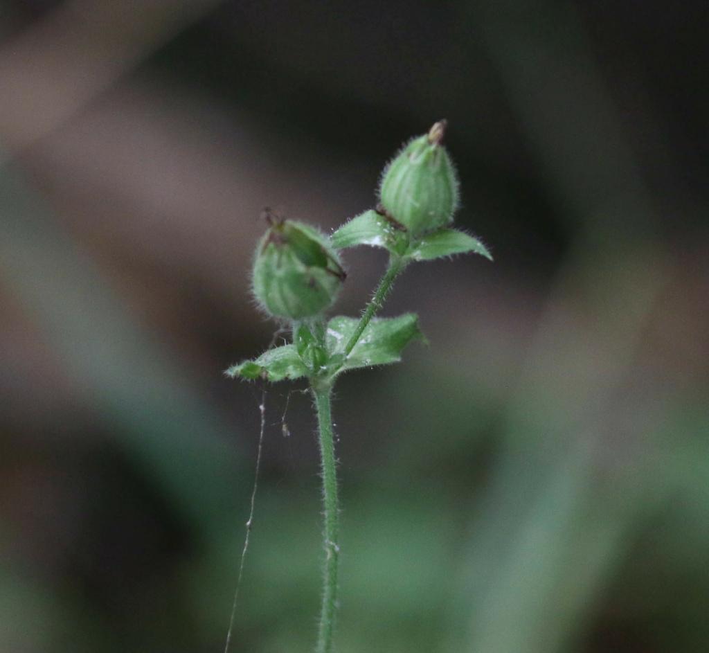 [Silene latifolia] Silene baccifera ? Origin25