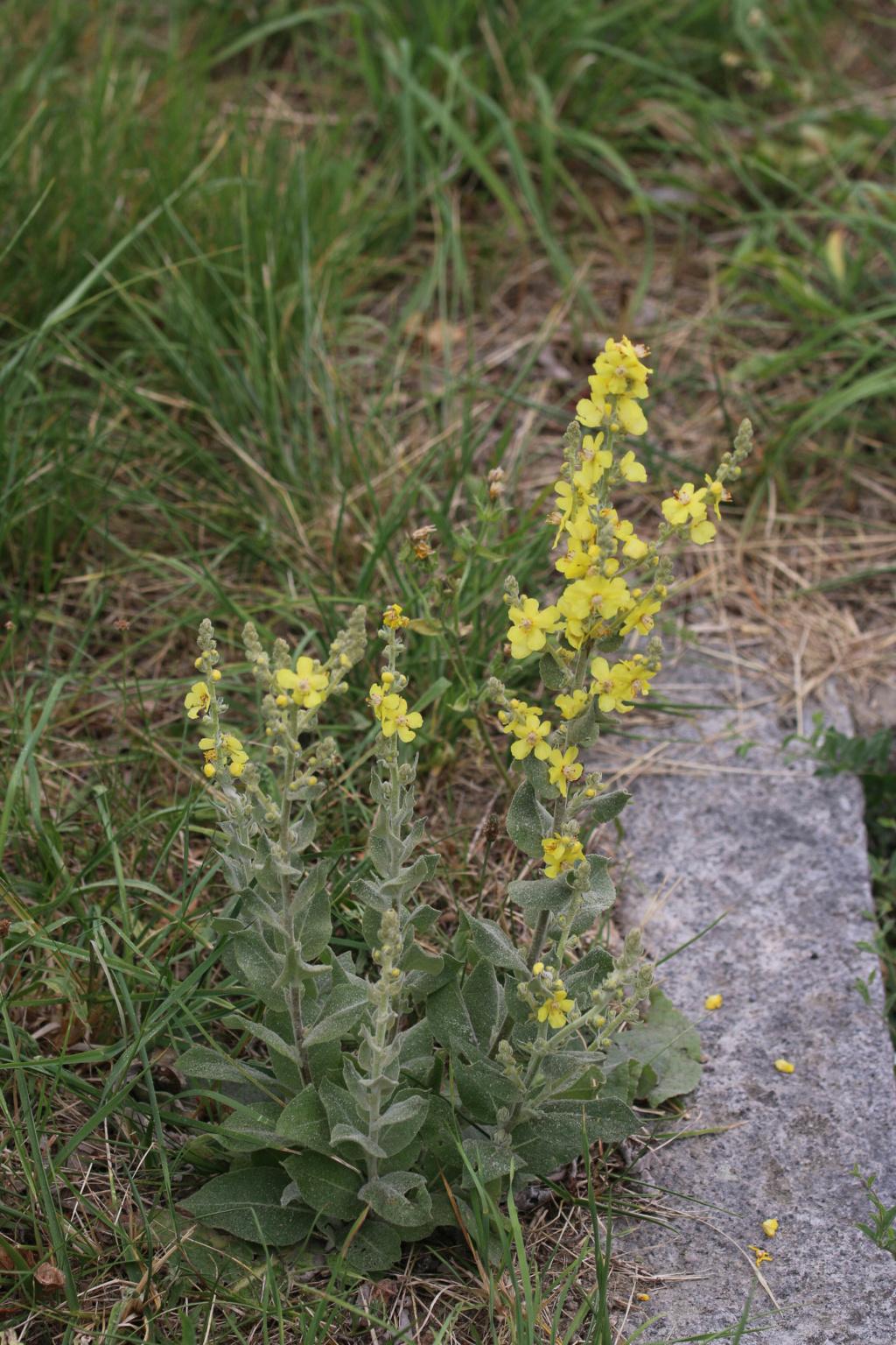 [Verbascum pulverulentum] + Verbascum phlomoides et densiflorum Origin28