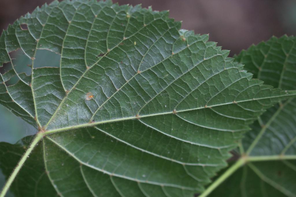 Tilia platyphyllos ? Origin29