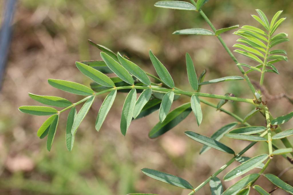Onobrychis viciifolia ? Origin42
